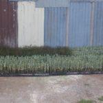 Tree_planting_salt_bush_oil_mallees